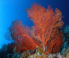 Red Gorgonian coral